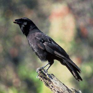Alala crow