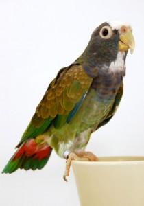 White capped Pionus parrot, white-cap, Pi