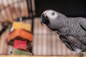 African grey, grey parrot, African grey parrot