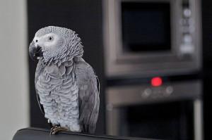 African grey, grey parrot, gray parrot