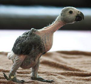 African grey parrot; grey parrot. African grey chick