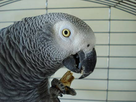 African Grey Eating