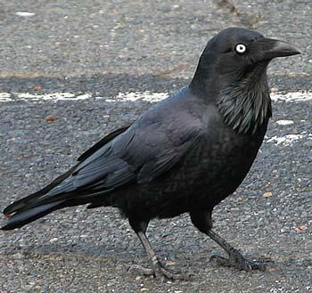 Raven, Australian raven