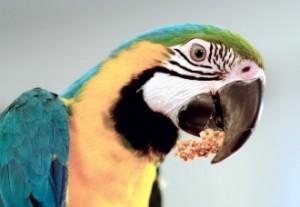 Macaw eating Nutri-Berries