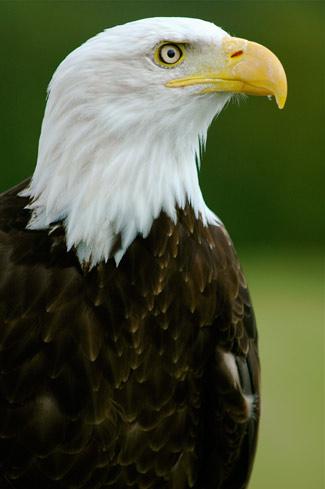 Bald eagle, eagle