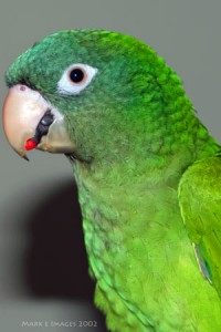 BlueCrownConure