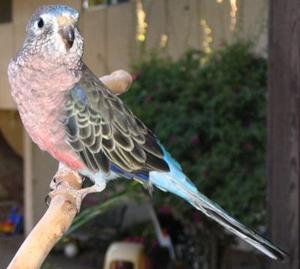 Bourke's parakeet, Bourke's parrot, pink parrot, pink parakeet
