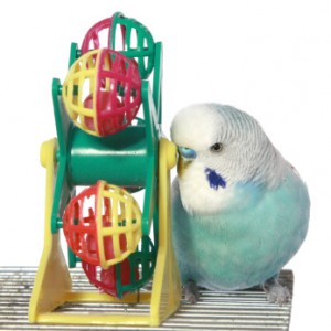 budgie and toy, parakeet and toy, blue budgie, blue parakeet