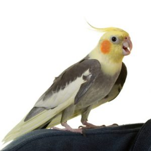 cockatiel, singing cockatiel, cockatiel sounds