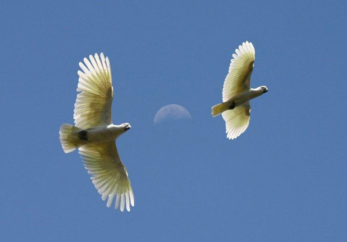 Cockatoos flying free in blue sky