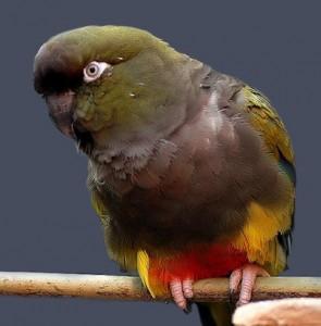 Patagonian conure; Patagonian parakeet, Patagonian parrot, burrowing parrot
