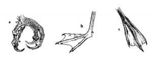 bird foot types, birds' feet, parrot feet