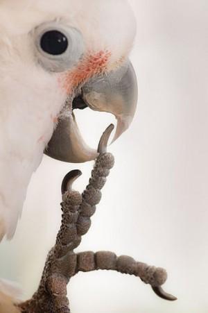 Goffins Cockatoo biting talon