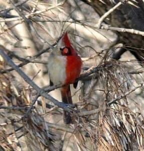 cardinal bird, red bird, half-colored bird
