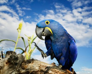 hyacinth macaw, blue macaw, hyacinth parrot, blue parrot