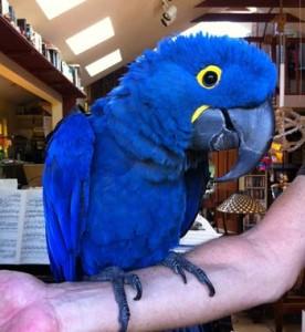 Hyacinth macaw, blue macaw