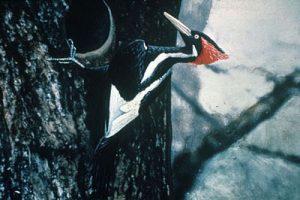 ivory-billed_woodpecker_by_jerry_a-_payne