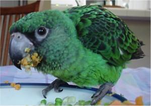 Jardine's parrot; Poicephalus