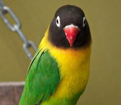 lovebird, masked lovebird