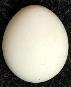 Neopsephotus bourkii egg