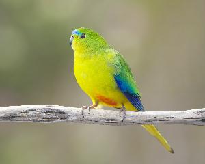 Orange-bellied parrot (photo by JJ Harrison)
