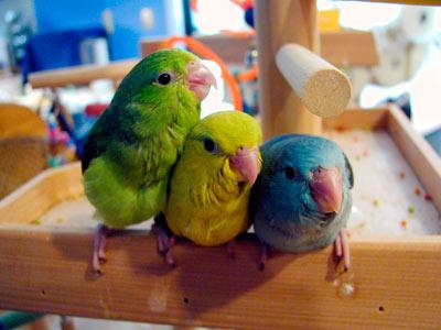 Pacific parrotlets, pocket parrot, tiny parrot