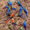 Macaws and Amazon parrots share a clay lick at the Tambopata National Reserve, Peru
