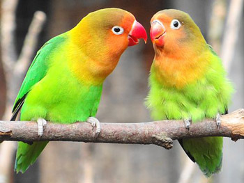 PeachFacedLovebirds