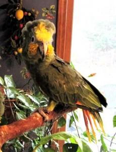 orange-winged Amazon parrot, old Amazon parrot
