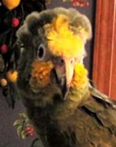 close up of face of senior orange-winged Amazon parrot