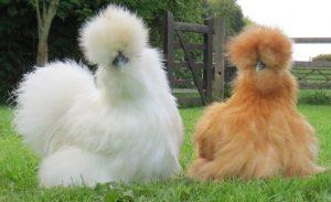 silkie chickens, chickens