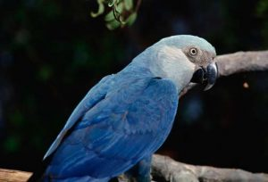 Spixs Macaw sitting on a tree