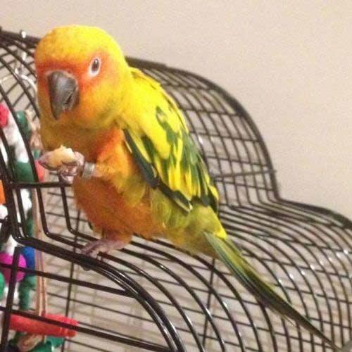 Sun Conure sitting on cage