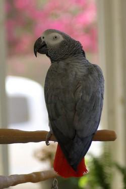 Psittacus erithacus erithacus, African grey parrot, African gray, grey parrot, gray parrot