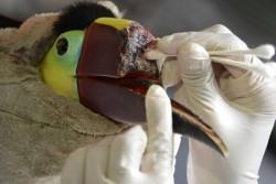 Toucan missing bill
