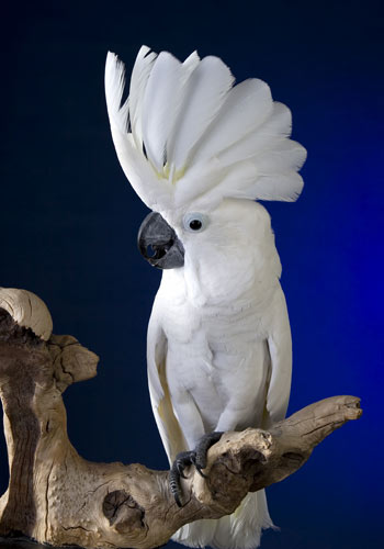 Umbrella-Cockatoo