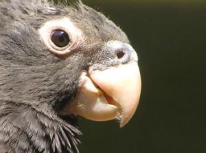 Vasa parrot, black parrot