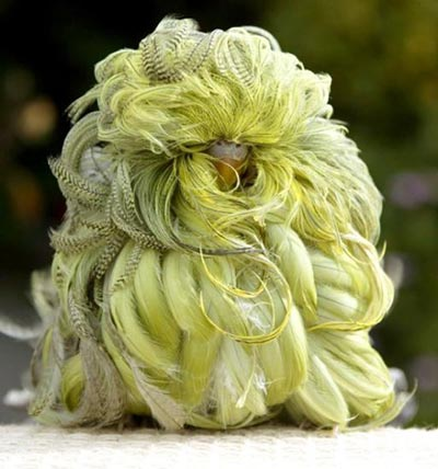 standing Feather Duster Budgie