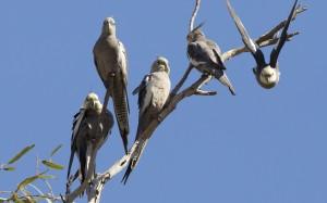 wild cockatiel flock, cockatiels in the wild, flock of cockatiels