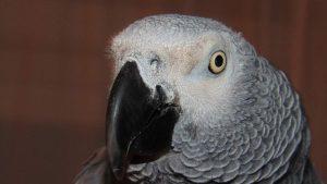 African grey face