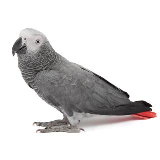 African grey parrot, Congo African grey, CAG
