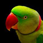 Alexandrine parakeet headshot