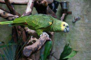 Amazon parrot on perch