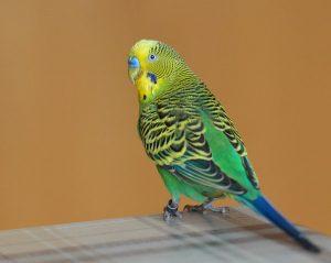 budgie parakeet on table