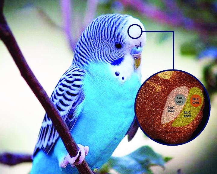 budgie, parakeet