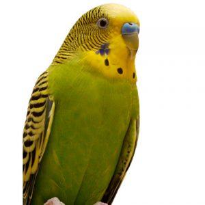 budgie / parakeet