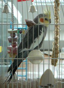 cockatiel perched in cage