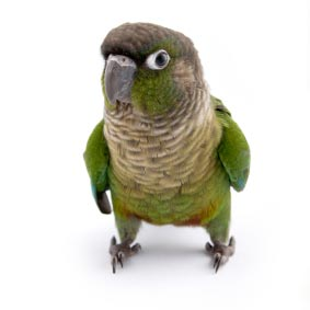 Green check Conure