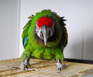 aggressive military macaw
