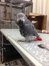 African grey, African grey parrot, grey parrot